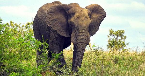Африканский слон фото