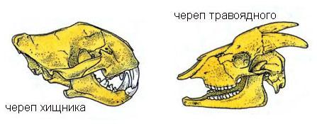 Череп травоядного и плотоядного хищного животного