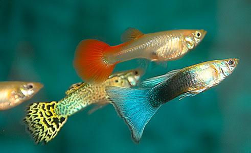 Каких рыбок заселять в аквариум