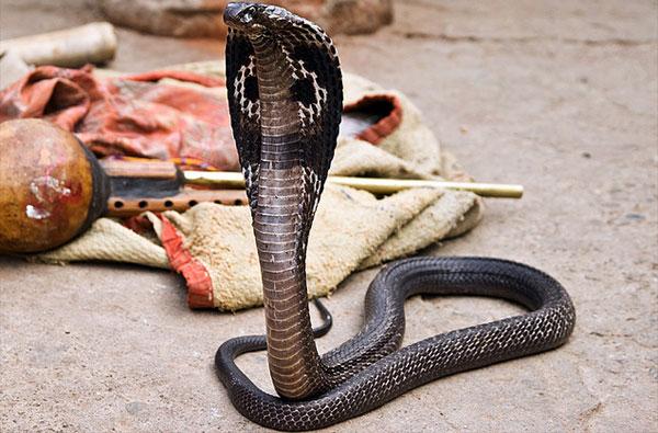 Кобра змея