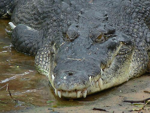 Различия крокодила от аллигатора