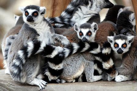 Лемур Мадагаскар