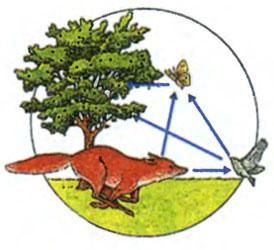 Пищевая цепь в лесу