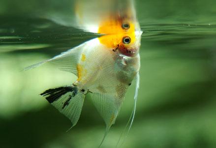 Рыбки скалярий