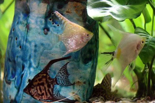Скалярий аквариум