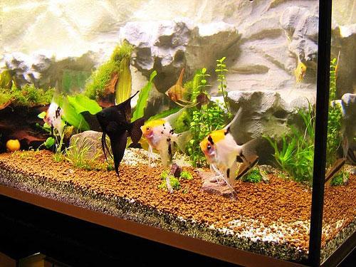 Аквариум для рыбок скалярий