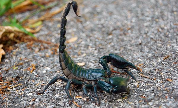 Скорпион ядовитый