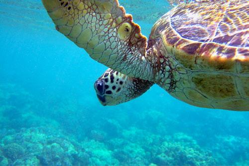 Черепаха в море
