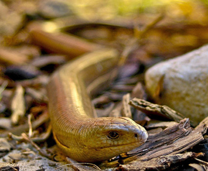 Pseudopus-apodus. Желтопузик