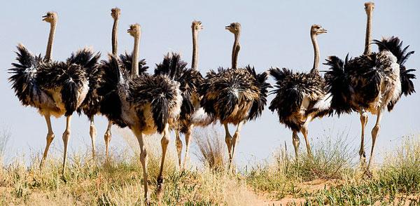 африканский страус фото