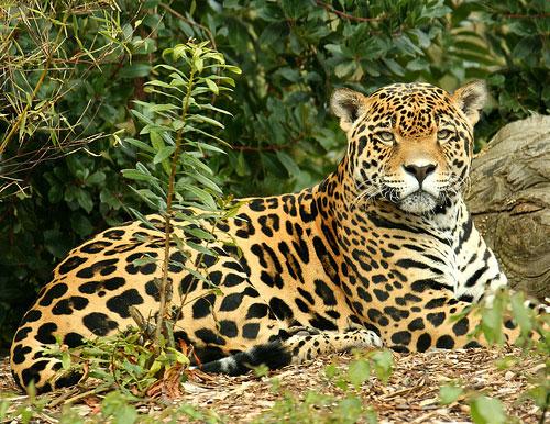 Дикая природа ягуар