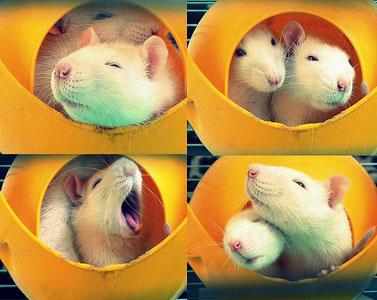 Ручные декоративные крысы