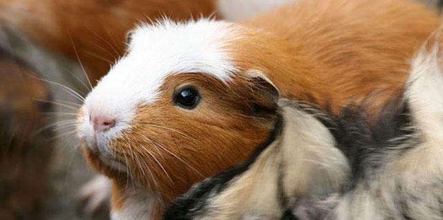 морская свинка домашнее животное