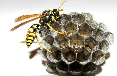 оса насекомое