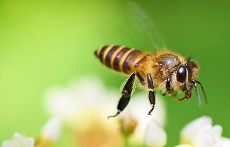 пчела трудится в улие