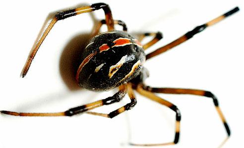 укусы ядовитых пауков