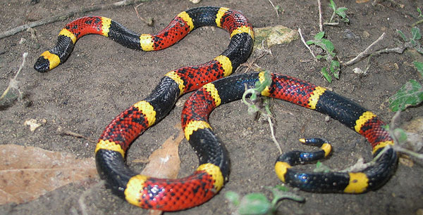 Коралловая змея