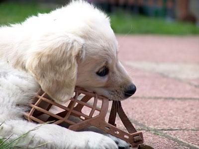 собака намордник