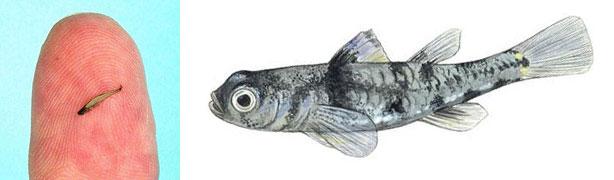 Самая маленькая рыба - бычок пандака