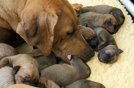 Уход за новорожденным щенком