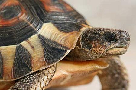 Содержание и уход сухопутной черепахи в домашних условиях