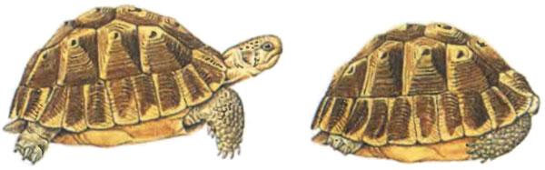 Черепаха в панцире