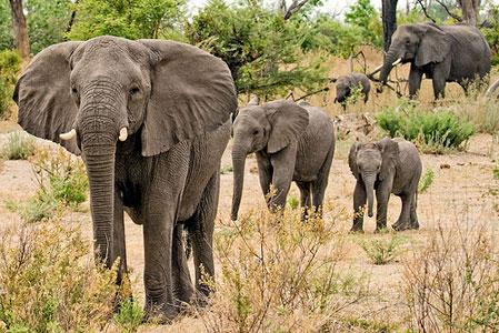 Защита слонов от браконьерства
