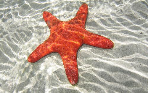Морская звезда животное