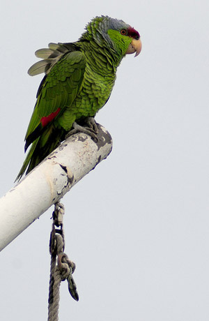 Попугай-террорист