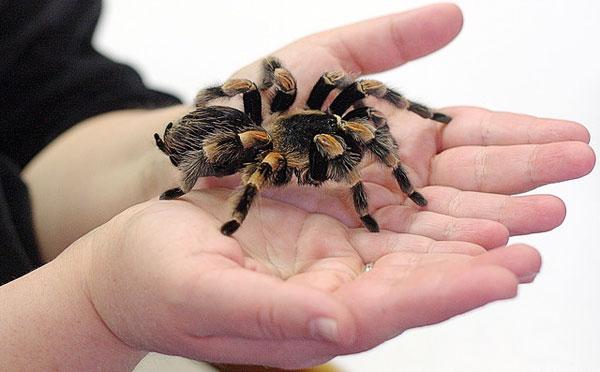фото паук-птицеед