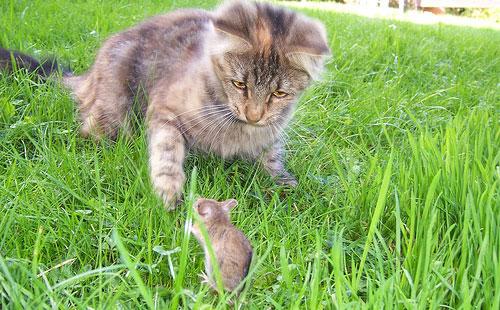 мыши боятся кошек