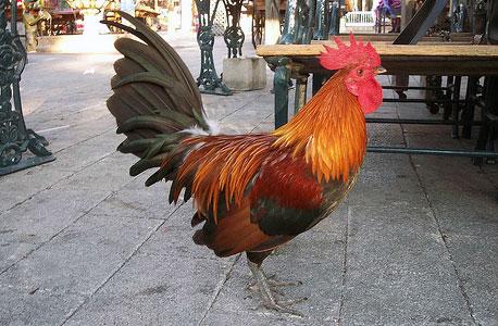 происхождение петухов и куриц