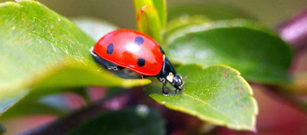 насекомое жук божья коровка
