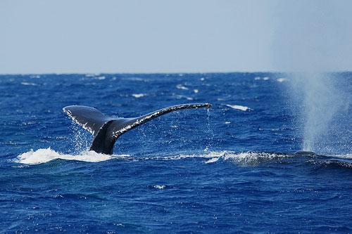 серый кит потепление