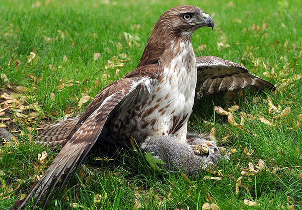 Сокол-сапсан птица